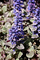 Burgundy Glow Bugleweed (Ajuga reptans 'Burgundy Glow') at Salisbury Greenhouse and Landscaping