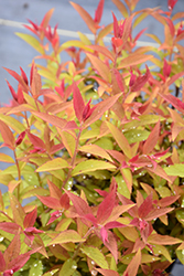 Froebelii Spirea (Spiraea x bumalda 'Froebelii') at Salisbury Greenhouse and Landscaping