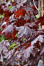 Prairie Splendor Norway Maple (Acer platanoides 'Prairie Splendor') at Salisbury Greenhouse and Landscaping