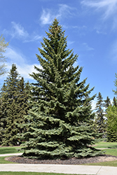Blue Colorado Spruce (Picea pungens 'var. glauca') at Salisbury Greenhouse and Landscaping