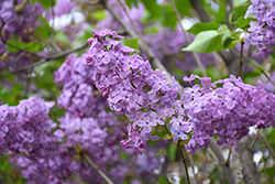 Asessippi Lilac (Syringa x hyacinthiflora 'Asessippi') at Salisbury Greenhouse and Landscaping