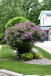 Donald Wyman Lilac (Syringa x prestoniae 'Donald Wyman') at Salisbury Greenhouse and Landscaping