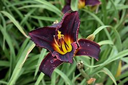 Salieri Daylily (Hemerocallis 'Salieri') at Salisbury Greenhouse and Landscaping