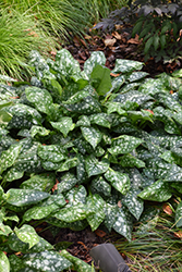Sissinghurst White Lungwort (Pulmonaria 'Sissinghurst White') at Salisbury Greenhouse and Landscaping