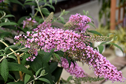 Pink Delight Butterfly Bush (Buddleia davidii 'Pink Delight') at Salisbury Greenhouse and Landscaping