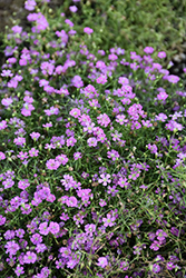 Pink Creeping Baby's Breath (Gypsophila repens 'Rosea') at Salisbury Greenhouse and Landscaping