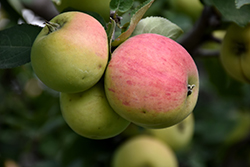Norland Apple (Malus 'Norland') at Salisbury Greenhouse and Landscaping