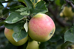 Goodland Apple (Malus 'Goodland') at Salisbury Greenhouse and Landscaping