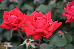 Double Knock Out® Rose (Rosa 'Radtko') at Salisbury Greenhouse and Landscaping