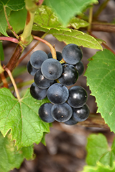 Beta Grape (Vitis 'Beta') at Salisbury Greenhouse and Landscaping